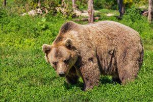 RO-ALERT și 112, în ajutorul localnicilor amenințați de urși